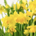 daffodils Yellow Flowers and The Daffodil - EAT LOVE SAVOR International luxury lifestyle magazine and bookazines