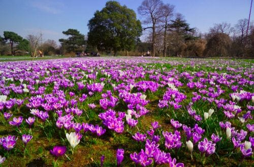 Crocuses at Kew Gardens1 The Beauty of Spring: Kew Gardens - EAT LOVE SAVOR International luxury lifestyle magazine, bookazines & luxury community