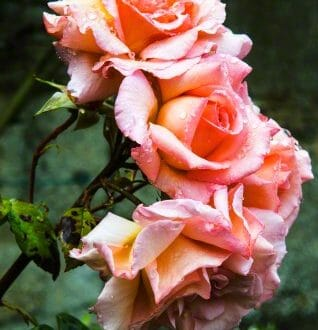 roses For the Love of Rose Water: Age Old Culinary, Wellness and Beauty Water - EAT LOVE SAVOR International luxury lifestyle magazine, bookazines & luxury community