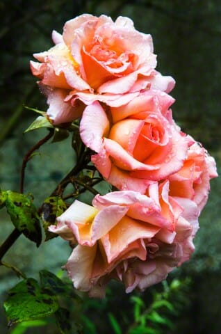 roses For the Love of Rose Water: Age Old Culinary, Wellness and Beauty Water - EAT LOVE SAVOR International Luxury Lifestyle Magazine