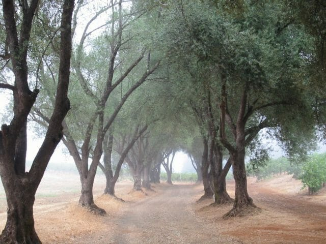 Smith-Madrone Olive Trees